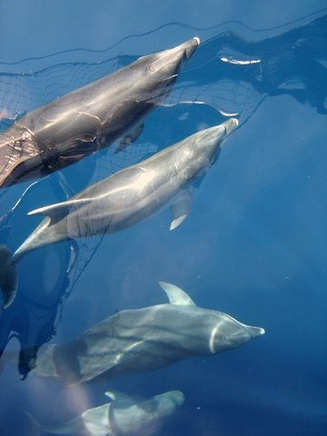 Bottlenose Dolphins swimming with Andrea Jensen