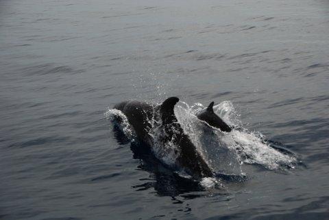 Dolphins in Alghero Bay