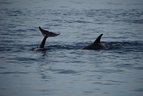 Two of the many Dolphins in Porto Conte